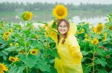 [Photo] Đồi hoa hướng dương ở Ecopark khoe sắc đón Thu sang