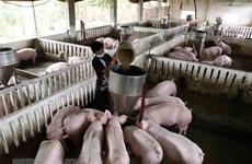 Hà Nam: Xuất hiện ổ dịch tai xanh trên đàn lợn ở huyện Lý Nhân