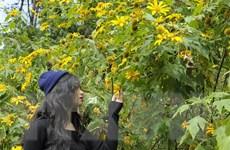 Xây dựng mùa hoa dã quỳ ở Ba Vì thành sản phẩm du lịch hấp dẫn