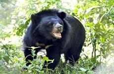 Một người dân Quảng Nam bị thương nặng do gấu rừng tấn công
