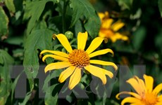 [Photo] Về biên giới cực Tây ngắm hoa dã quỳ khoe sắc rực rỡ
