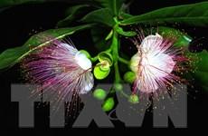 [Photo] Vẻ đẹp quyến rũ lạ thường của hoa bàng vuông ở Trường Sa