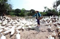 Đồng Tháp: Giá trị ngành chăn nuôi vịt đạt trên 1.000 tỷ đồng