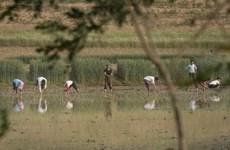 Báo đảng Triều Tiên kêu gọi toàn quốc đảm bảo an ninh lương thực