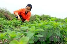 Nữ thanh niên bỏ phố về quê, biến ruộng hoang thành vườn dược liệu
