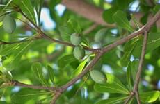 Hà Nội trồng bàng lá nhỏ thay thế cây phong tại hai tuyến đường