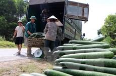 Hòa Bình: Bí xanh chất đống ven đường, giá sụt giảm mạnh