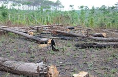 Đắk Nông chặt gần 7.000 cây thông chết khô ven hai quốc lộ