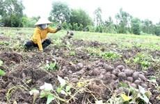 Giá khoai lang tím Nhật giảm mạnh, nông dân Vĩnh Long gặp khó khăn