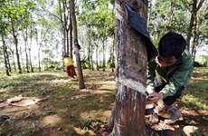 Bình Phước: Người trồng cao su phấn khởi vì giá mủ tăng trở lại