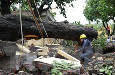 Hà Nội: Cây to bật gốc đè sập tường, chắn ngang phố Hỏa Lò