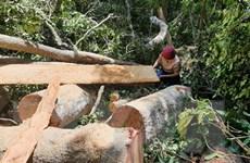 Vụ phá rừng ở Mang Yang: Phát hiện thêm 25 cây gỗ bị chặt hạ
