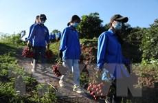 [Photo] Thanh niên tình nguyện Bắc Giang giúp dân thu hoạch vải thiều