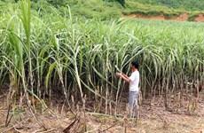 Áp thuế đường Thái Lan: Cơ hội nào cho ngành mía đường Việt Nam?