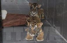 Bảy cá thể hổ được Vườn Quốc gia Pù Mát chăm sóc đang phục hồi tốt