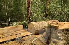 Gia Lai: Khởi tố nhóm nhân viên quản lý rừng khai thác gỗ trái phép