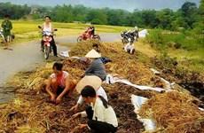 Phú Thọ: Nông dân nghèo khóc ròng vì hàng tấn lúa bị kẻ gian đốt