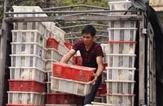 Bắt giữ 1,2 tấn chim bồ câu nghi nhập lậu từ Trung Quốc
