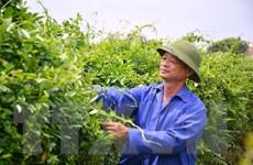 Xây dựng thành công những vùng trồng dược liệu 'trăm triệu'