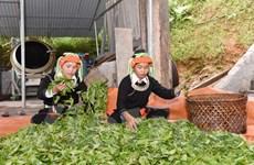 Người Dao Cao Bồ thoát nghèo từ rừng chè Shan tuyết trăm tuổi