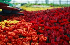 Lạc vào cánh đồng hoa tuylip tại Vinpearl Land Nha Trang