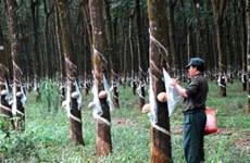 Tính kỹ việc trồng lại cây cao su ở Bắc Trung bộ