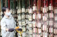 An Giang phát triển nghề trồng nấm với công nghệ cao