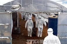 Hàn Quốc tiêu hủy 10 triệu gia cầm để ngăn virus H5N8