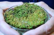 Rêu mọc lại sau 1.500 năm bị đóng băng tại Nam Cực