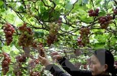 Định hướng phát triển cây nho và sản xuất vang nho Ninh Thuận