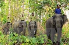 Đắk Nông khuyến cáo dân hạn chế đi lại trong rừng có voi hoạt động