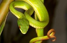 Hướng dẫn chẩn đoán, điều trị khi bị rắn lục xanh đuôi đỏ cắn