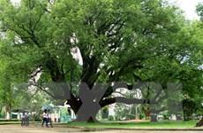 Đắk Lắk: Hai cây long não tại biệt điện Bảo Đại là cây di sản