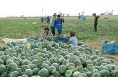 Trồng dưa hấu trên đất nhiễm mặn thu lợi gấp 3 lần trồng lúa