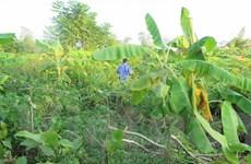 Hải Dương: Kẻ xấu chặt phá cây sưa đỏ, nông sản của người dân