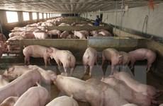 Dùng chất tạo nạc trong chăn nuôi lợn: Lợi trước mắt, hại lâu dài