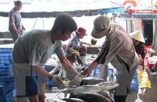 Ngư dân Quảng Nam trúng đậm mùa cá ngừ, các chủ tàu lãi lớn