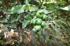 Trồng xen cây mắcca trong vườn càphê mang lại hiệu quả cao