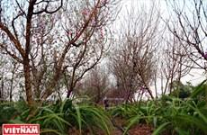 [Photo] Hà Nội: Làng đào Nhật Tân bắt đầu vào mùa gối vụ