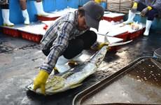 Con tàu vỏ thép đầu tiên của Đà Nẵng khai thác được 15 tấn hải sản