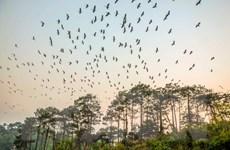 """""""Chim lạ"""" xuất hiện ở Lào Cai là loài có nguy cơ tuyệt chủng"""