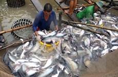 Nông dân vẫn ngại thả nuôi dù cá tra nguyên liệu tăng giá