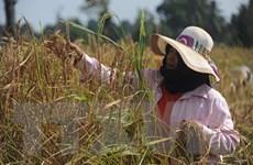 Gạo Thái Lan đứng trước cơ hội mở rộng thị trường tại Mỹ Latinh