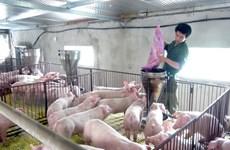 Gia hạn nợ cho khách hàng vay vốn đầu tư chăn nuôi lợn