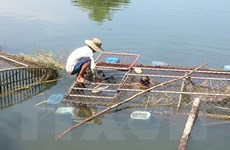 Thừa Thiên-Huế: Cá lồng nuôi chết hàng loạt do nguồn nước bị thay đổi