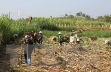 Mía bị đốt cháy, nông dân Tây Ninh thiệt hại hàng chục tỷ đồng