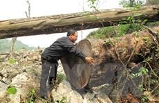 Cây gỗ nghiến tại Vườn quốc gia Ba Bể tiếp tục bị chặt hạ