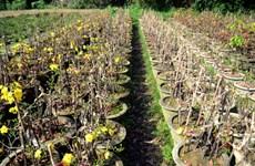 TP. HCM: Người trồng mai lo lắng không yên trước thời tiết bất thường