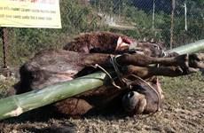 Lạnh 3 độ C, xuất hiện tình trạng trâu bò chết rét ở Yên Bái