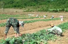 Phú Yên: Nguy cơ được mùa-mất giá khi tiếp tục trồng dưa hấu